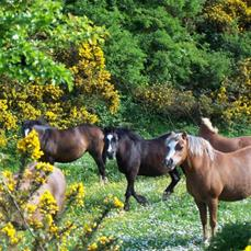 ponies running in the Brier Dene